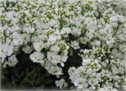 Цветок Арабис кавказский
